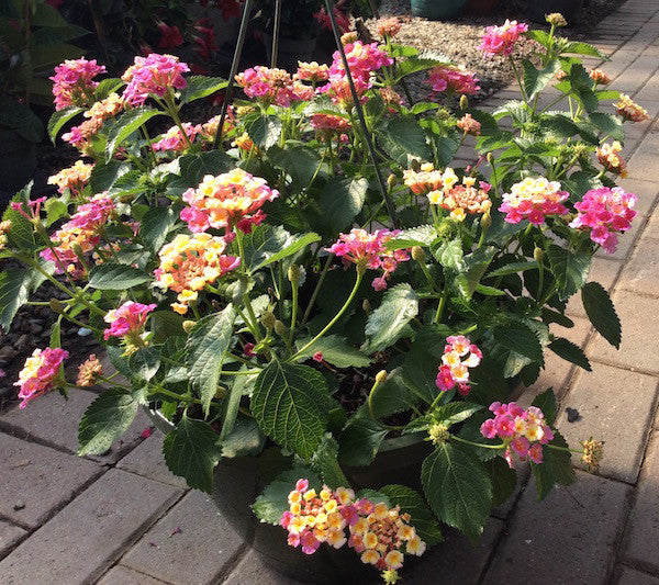 Lantana Hanging Basket Extraordinary Lantana Hanging Basket Madison Flower Shop