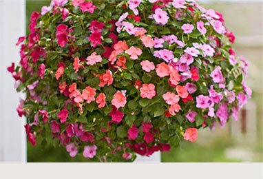 Hanging Baskets - Sun