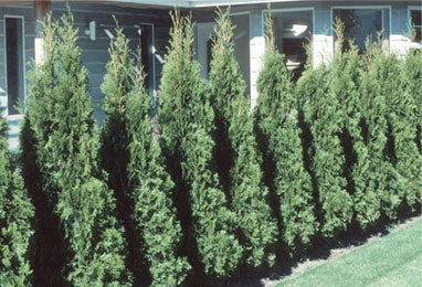 Trees/Shrubs - Screening