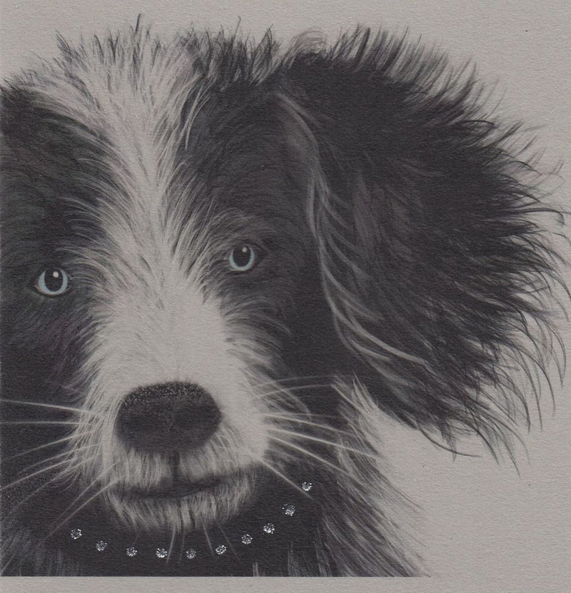369W - Border Collie