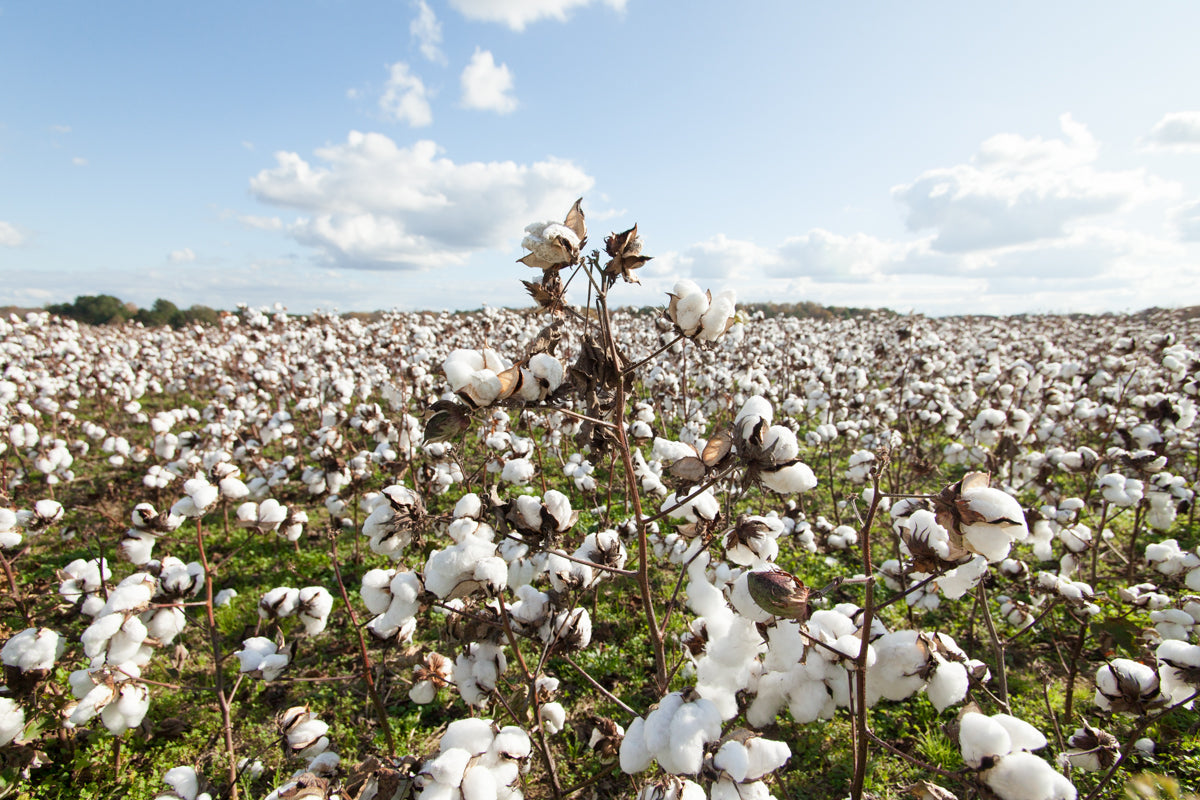 A field of cotton against a bright blue sky