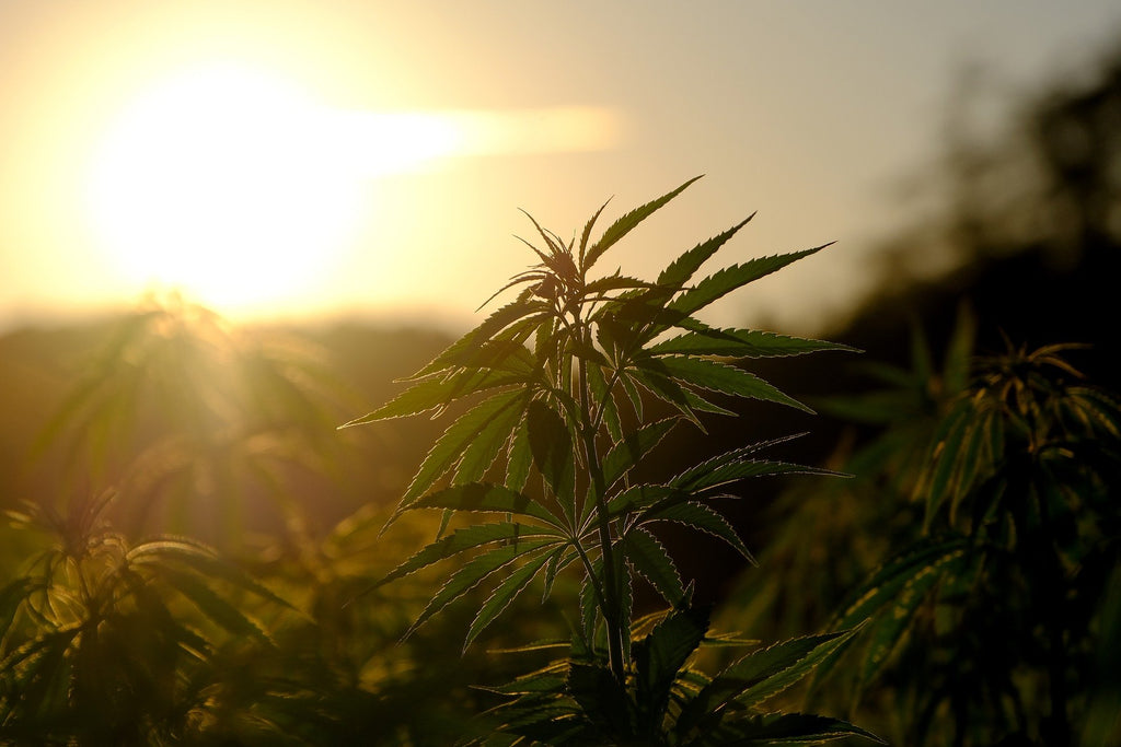 A hemp field at sunrise