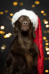 Flatcoat Friends 2019 Christmas Cards, pack of 20