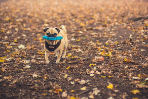 pug dog playing fetching in a park field