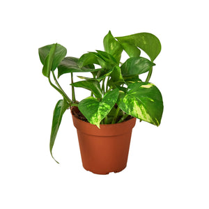 Open image in slideshow, Wet My Plant Pothos 'Golden' Plant