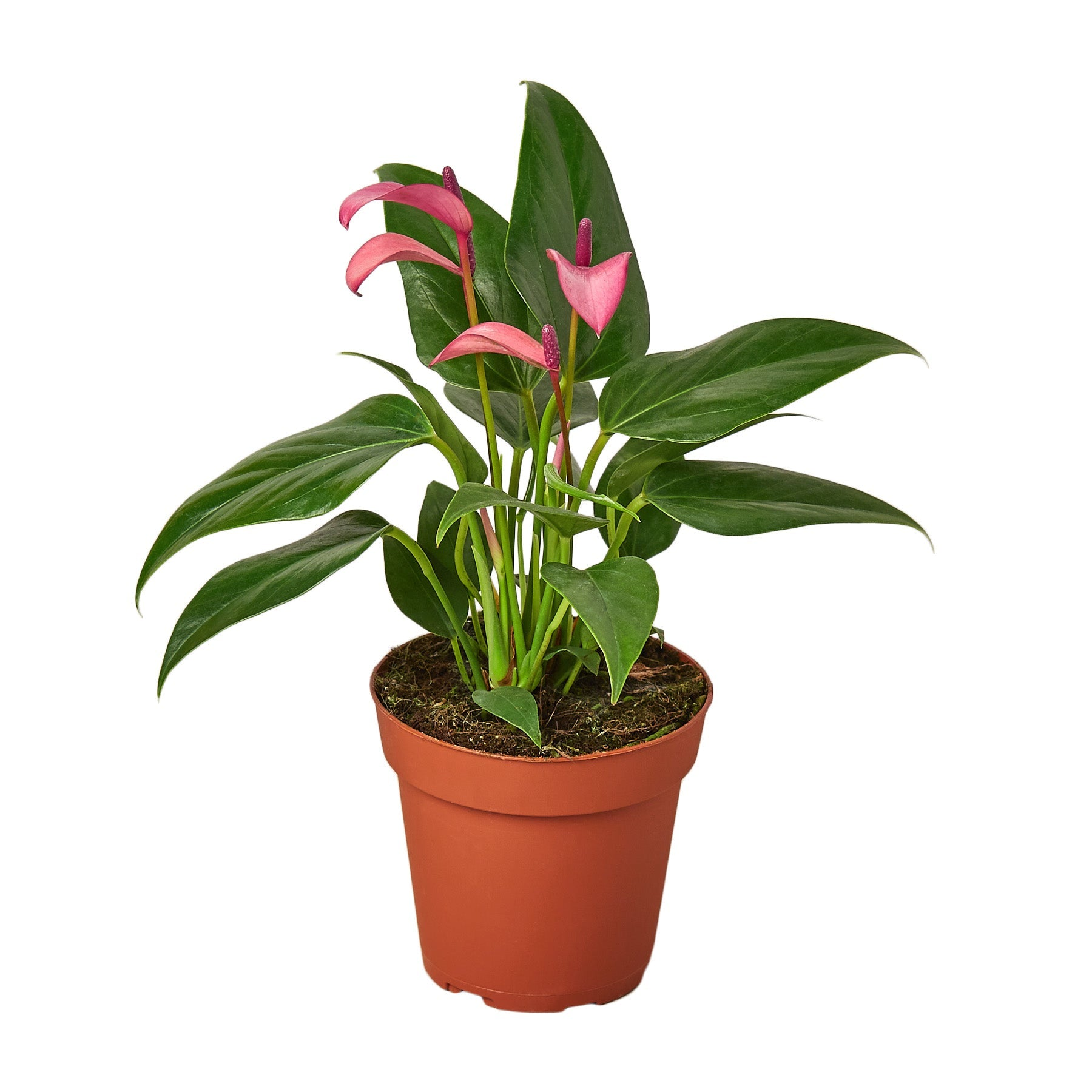 Anthurium 'Purple'