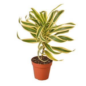 Open image in slideshow, Dracaena 'Song of India'