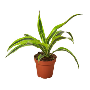 Open image in slideshow, Dracaena Deremensis 'Lemon Surprise'
