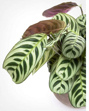Wet My Plant Maranta Burle-marxii 'Fishbone' Prayer Plant
