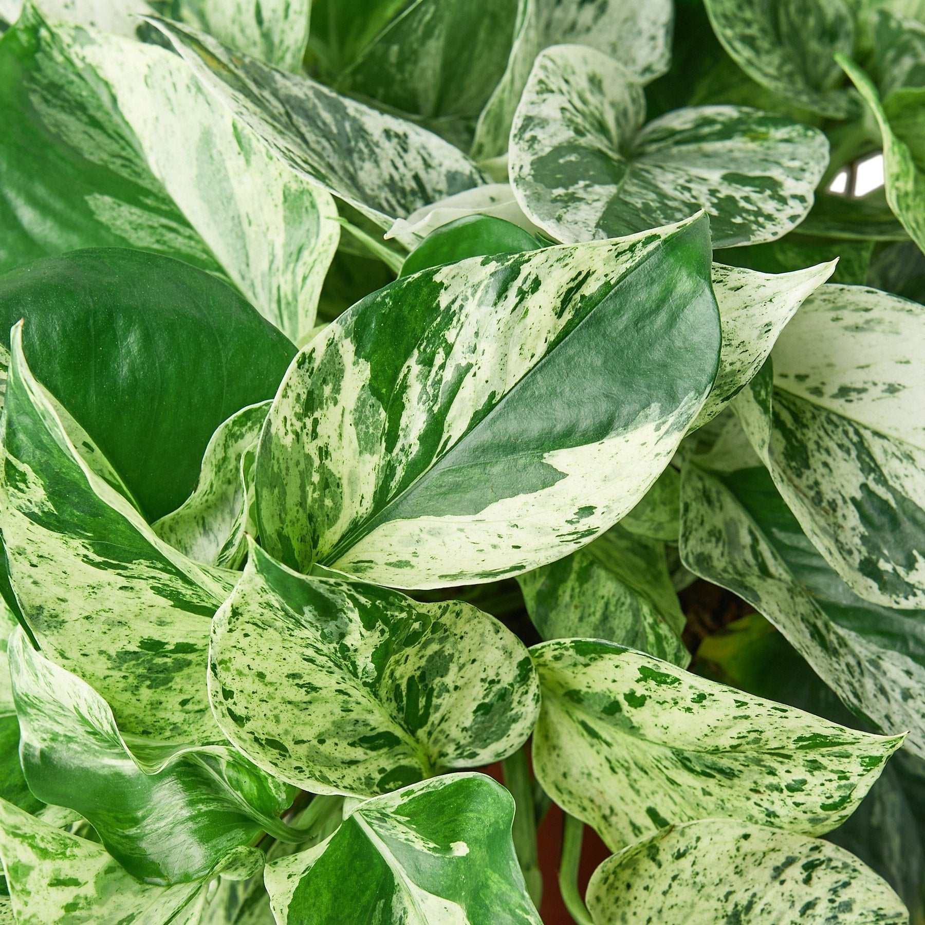 Pothos 'Marble Snow Queen'