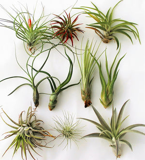 Wet My Plant Air Plants