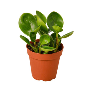 Open image in slideshow, Peperomia 'Thailand'