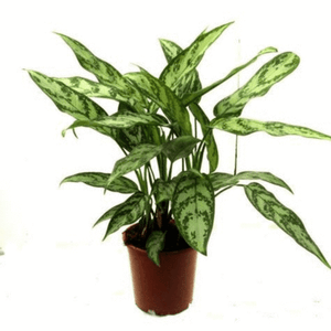 Open image in slideshow, Aglaonema Chinese Evergreen 'Maria'