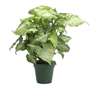 "Wet My Plant Arrowhead 'White Butterfly' Plant - 6"" Pot"
