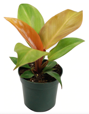 Open image in slideshow, Philodendron 'Prince of Orange'