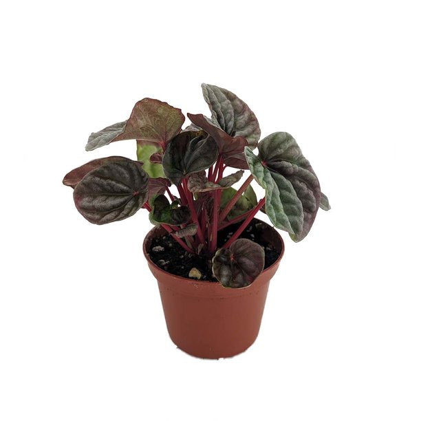Wet My Plant Red Ripple Peperomia Caperata