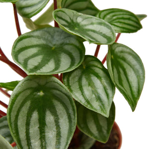 Open image in slideshow, Peperomia 'Watermelon'