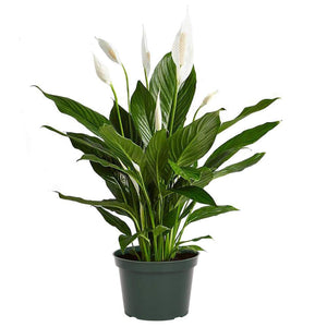 Open image in slideshow, Peace Lily