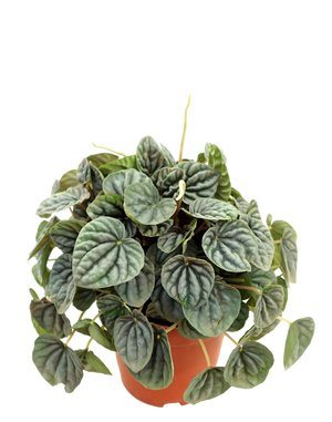 "Wet My Plant - Peperomia Emerald Ripple - 6"" Pot"