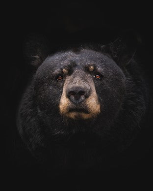 Camping Safety and How To Avoid Dangerous Animals - Black Bears