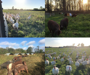 Pasture raised pigs, chickens, & turkeys at Gunthorp Farms