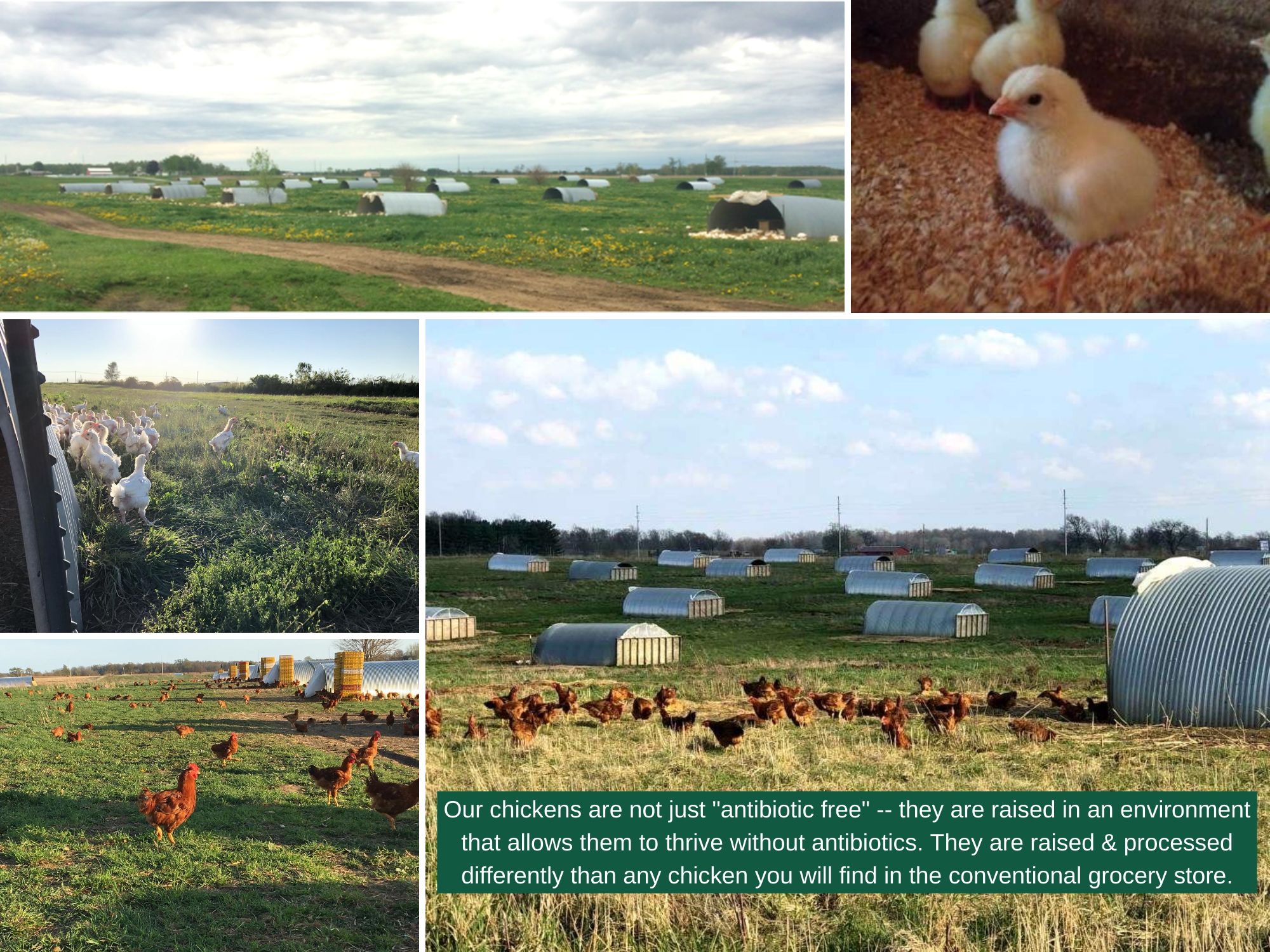 collage of multiple images of Gunthorp Farms chickens