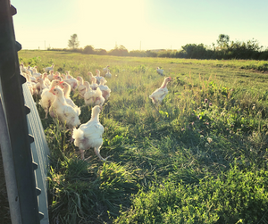 Pasture raised chickens at Gunthorp Farms