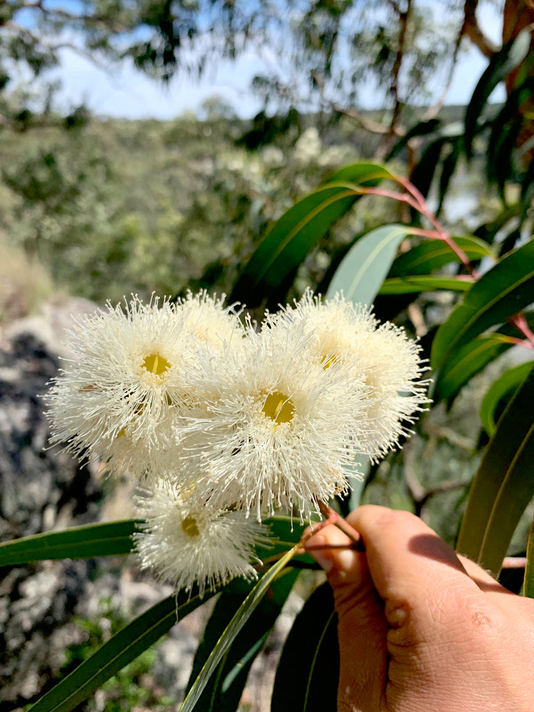 Malfroy's Gold Yellow Bloodwood Blossom
