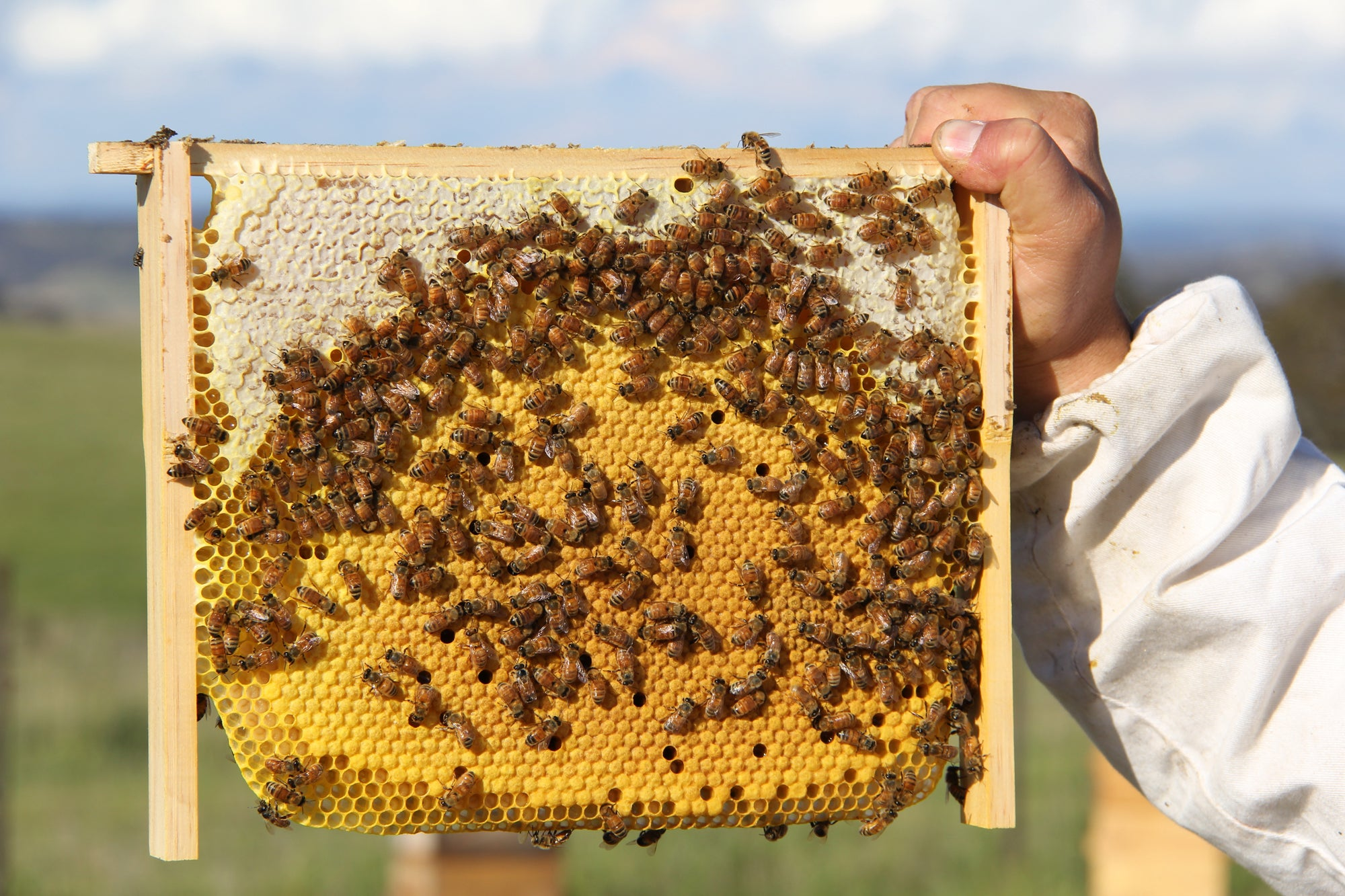 Malfroy's Gold Brood Comb