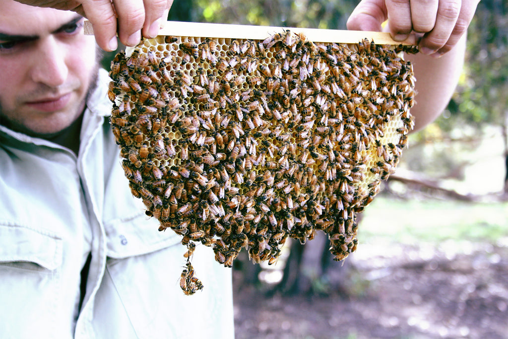 Malfroy's Gold Tim Malfroy Top bar of Wild comb from bee friendly Warré hive