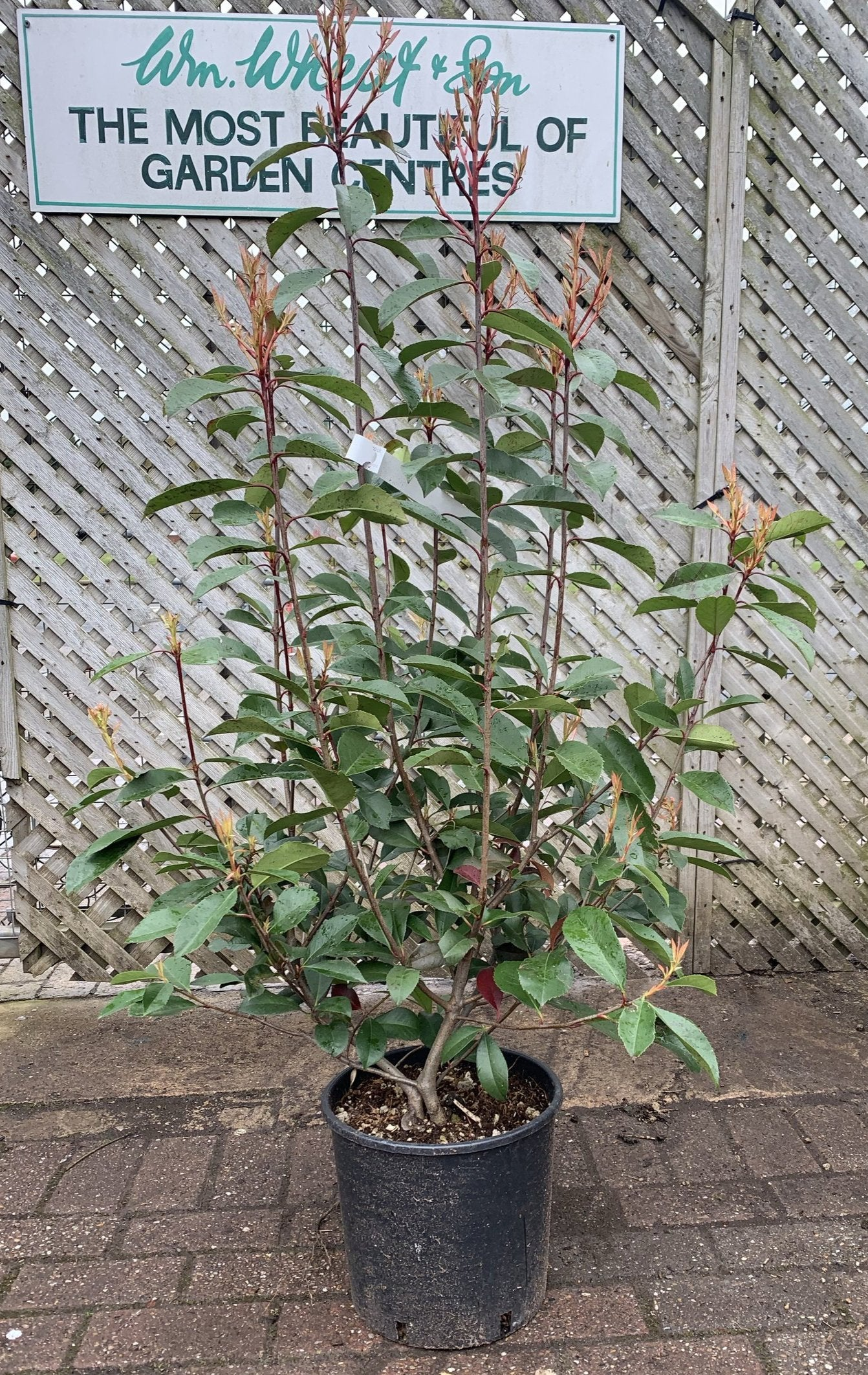 Photinia Red Robin (3ft)