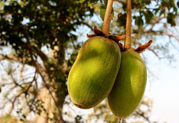 Image result for Baobab (Madagascar) food