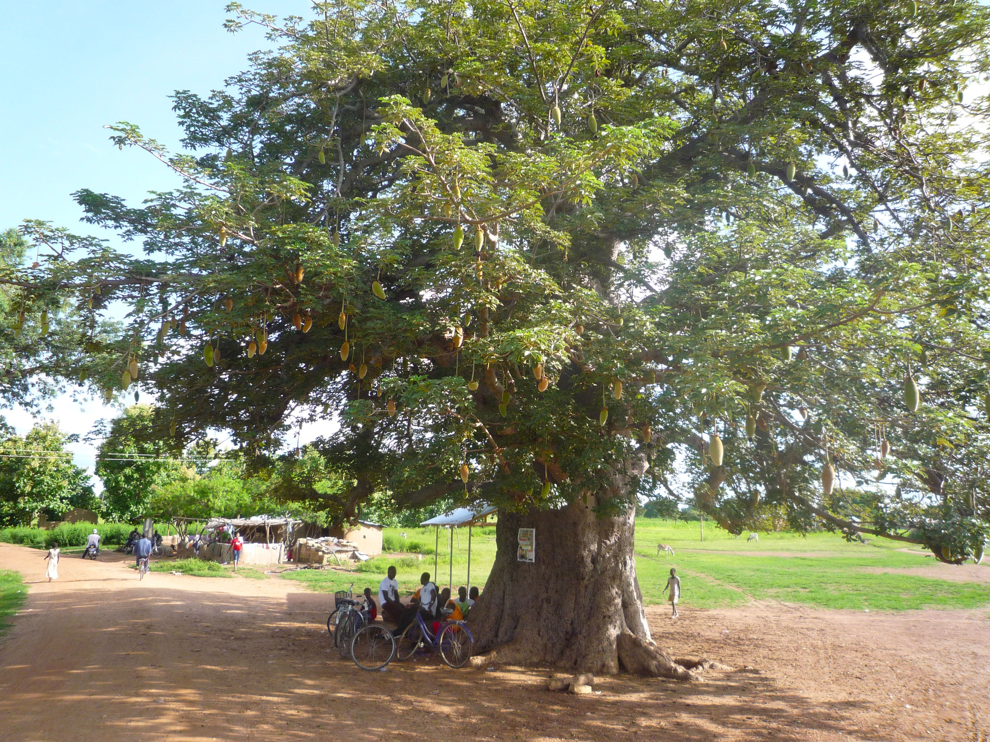 Baobab tree, near Paga Upper East Ghana where Aduna's supply chain is based