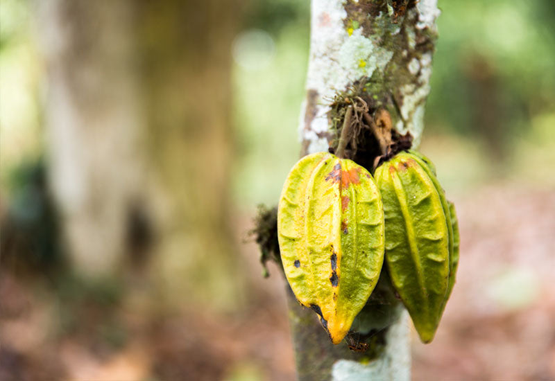Cacao vs. Cocoa - What's the Difference?
