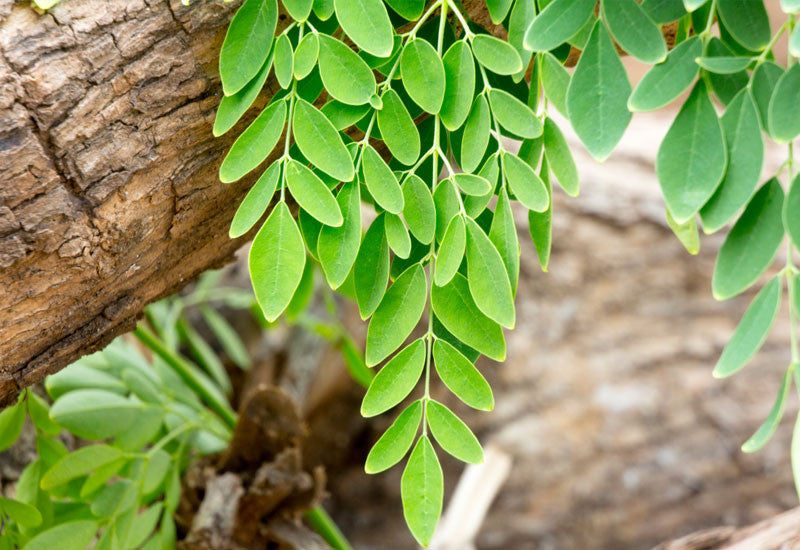 8 super health benefits of moringa leaf