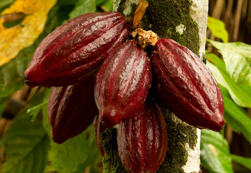 Image result for cocoa tree