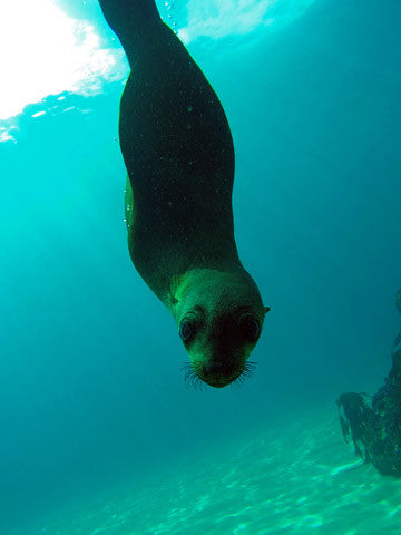 Come and join us on one of the most unique and fun experiences snorkeling with seals in Cape Town