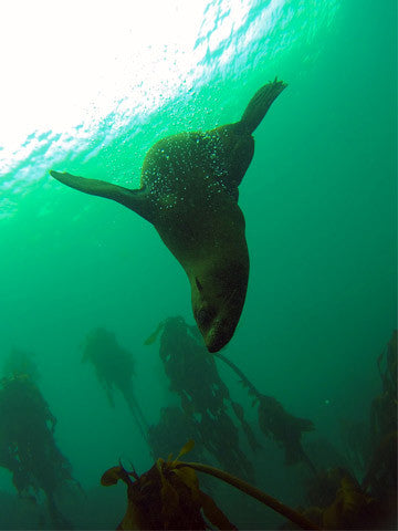Join Adrenalised Diving on one of the most incredible, unique and fun scuba diving experience that the Mother City has to offer, scuba diving with seals in Cape Town.