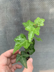 Hedera Ivy 'Green Small Leaf'