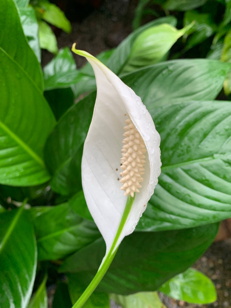 Spathiphyllum 'Peace Lily Mojo'