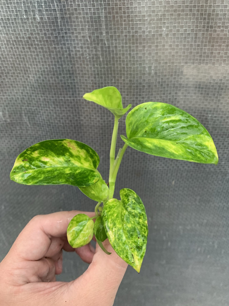 Pothos 'Golden'