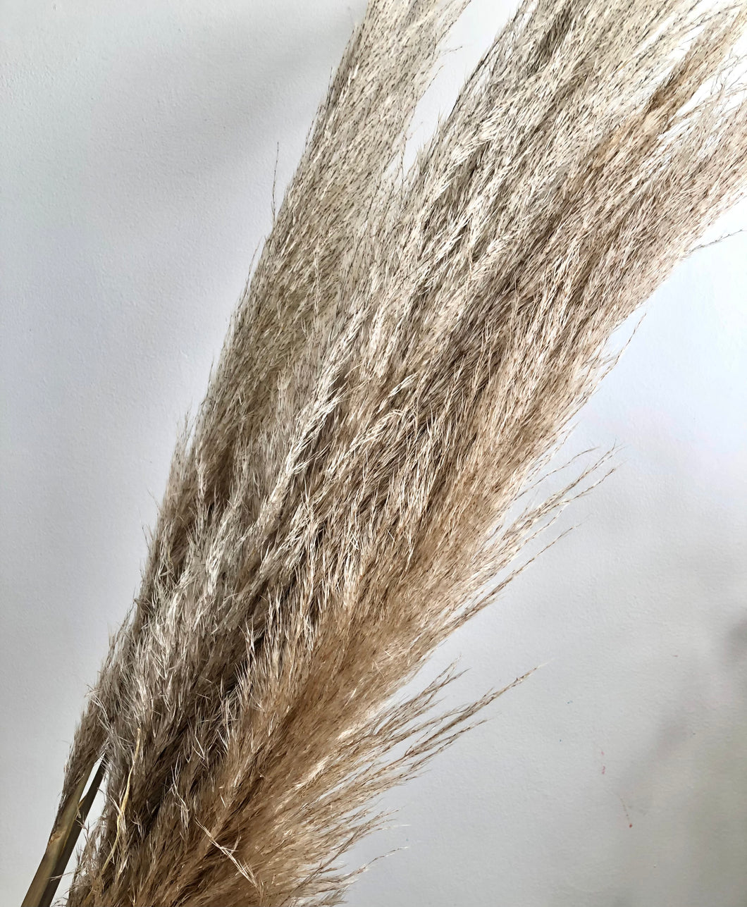 Tall Natural Dried Pampas Stems (price per stem)