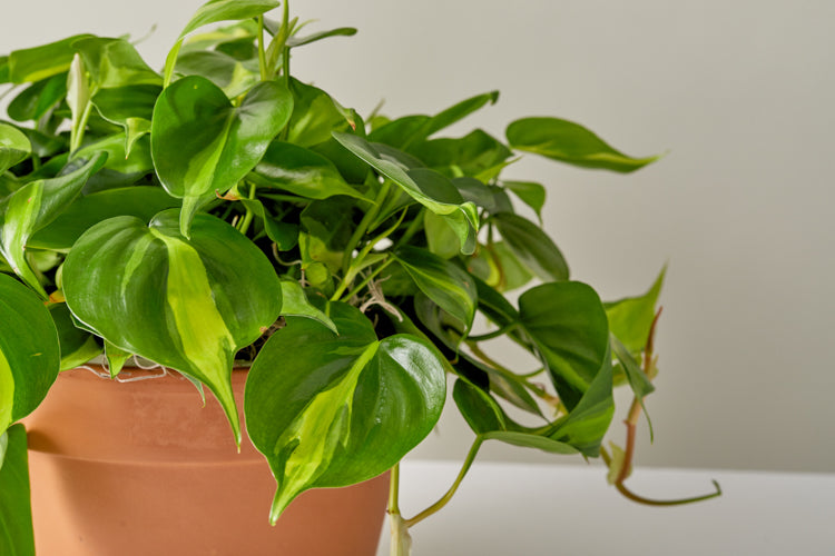 Introduction to Philodendron Brasil