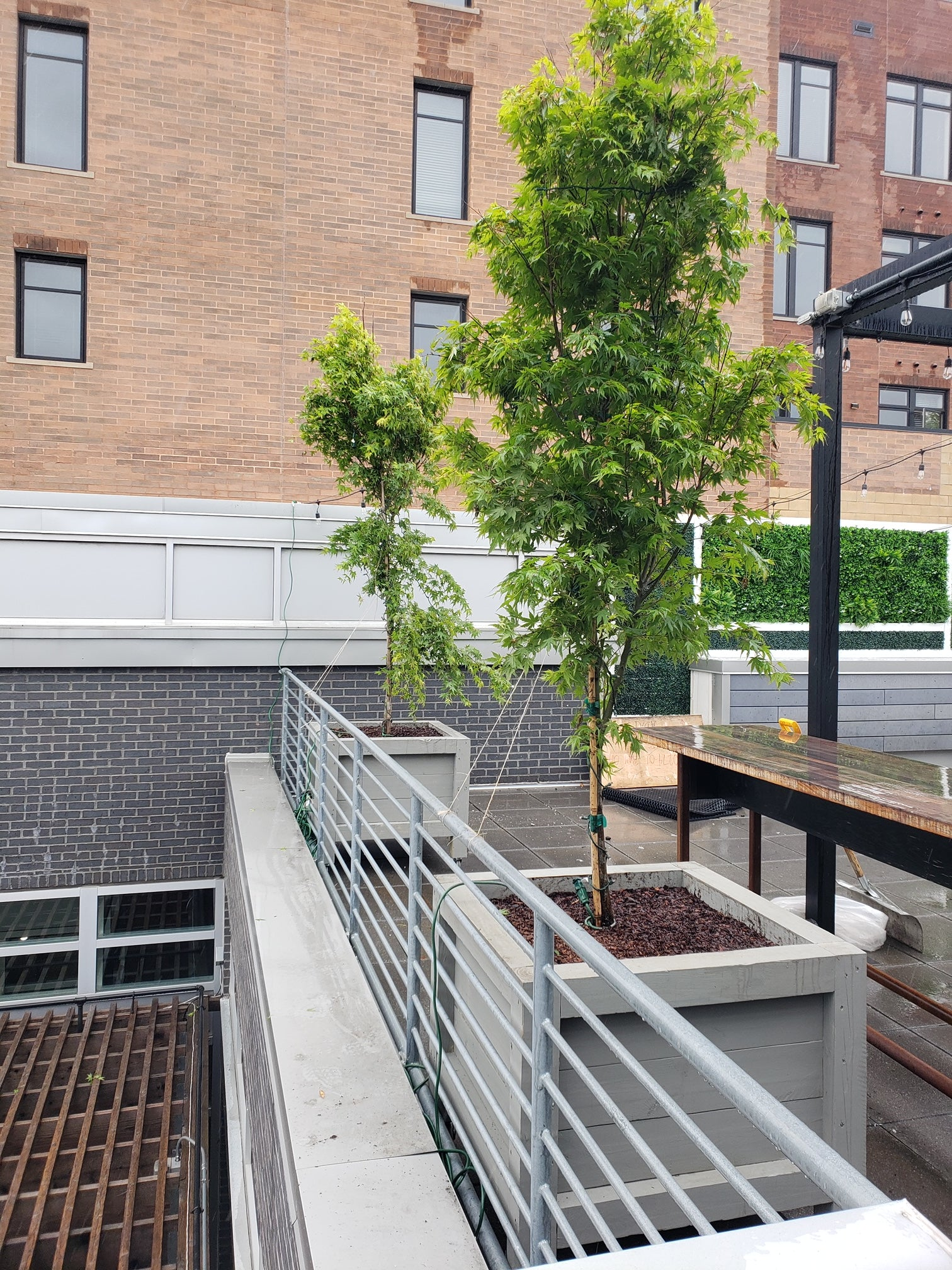 Rooftop trees for a rooftop patio--two japanese maples