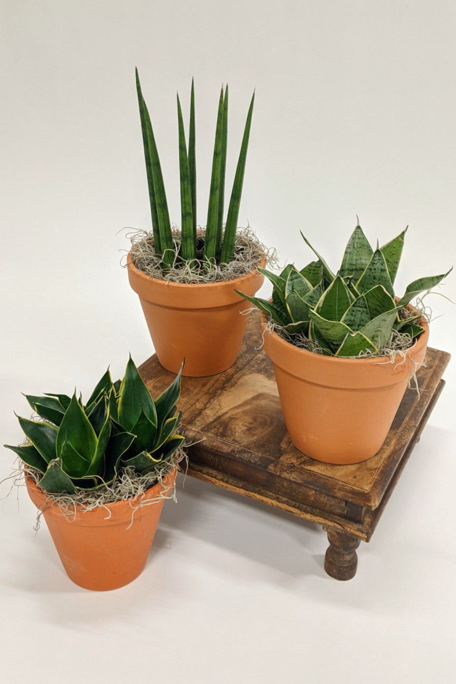 Simply Snakes: For Those with a Less Than Green Thumb