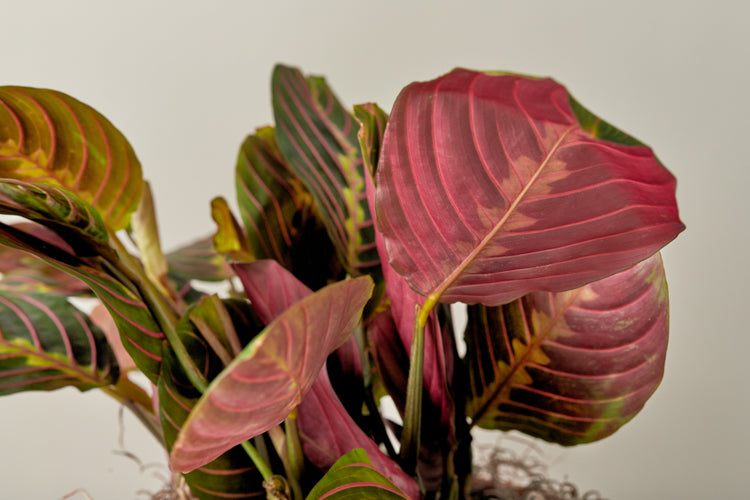 Red Prayer Plant (Maranta leuconeura 'erythroneura')