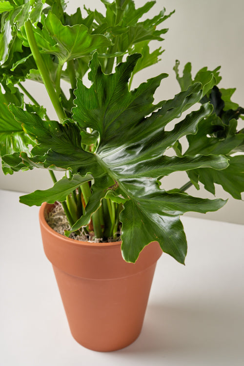 Philodendron Selloum Hope (Philodendron bipinnatifidum)