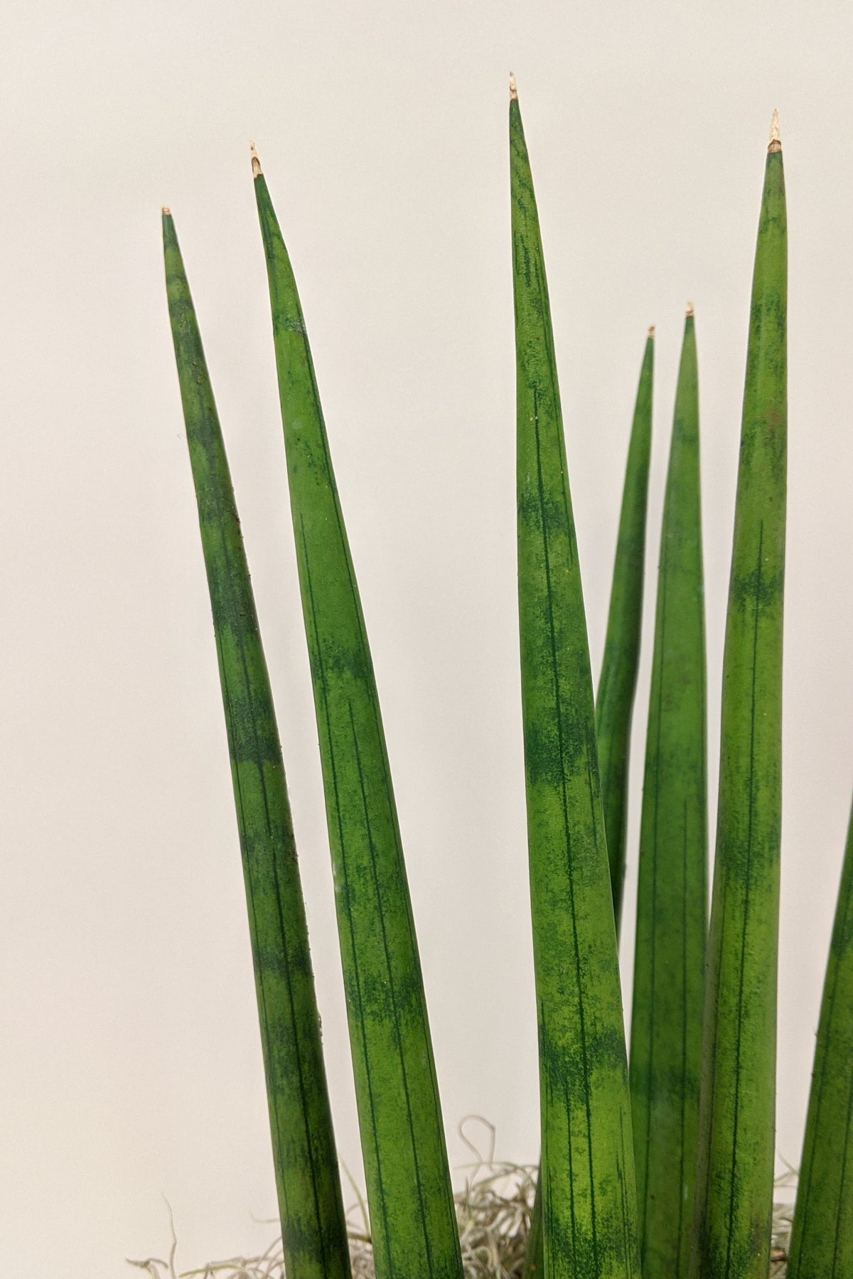 Snake Plant African Spear (Sansevieria 'Cylindrica')
