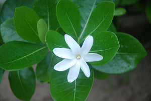 Load image into Gallery viewer, Tiare Flower - Tahitian Gardenia