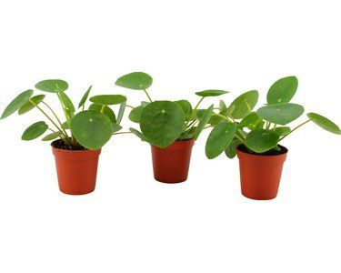 Pilea Pepperomia
